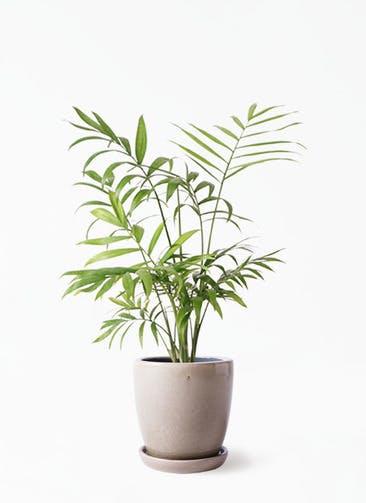 観葉植物 テーブルヤシ 4号 アステア トール ベージュ 付き