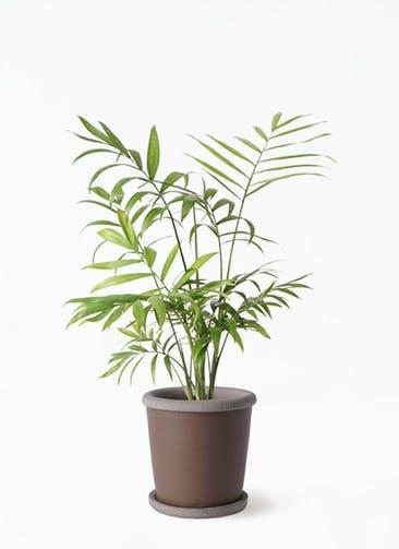 観葉植物 テーブルヤシ 4号 キャメルポット ブラウン 付き