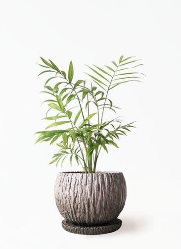観葉植物 テーブルヤシ 4号 ストーン ウェア セラミック 付き