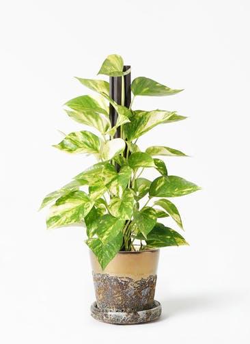 観葉植物 ポトス 4号 ハレー ブロンズ 付き