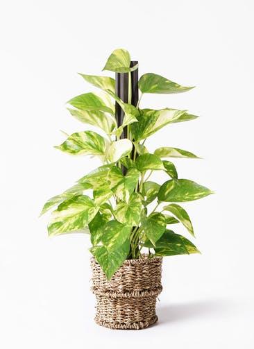 観葉植物 ポトス 4号 バスケット 付き