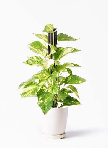 観葉植物 ポトス 4号 アステア トール ホワイト 付き