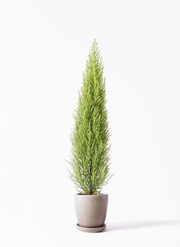 観葉植物 ゴールドクレスト 4号 ノーマル アステア トール ベージュ 付き