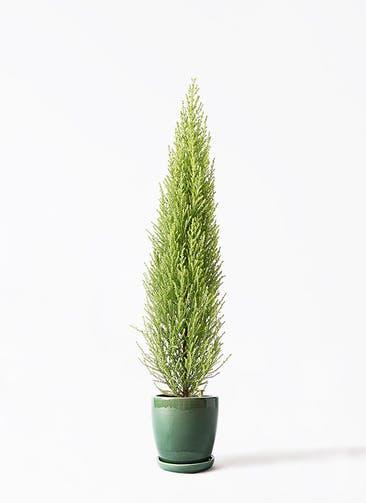 観葉植物 ゴールドクレスト 4号 ノーマル アステア トール グリーン 付き