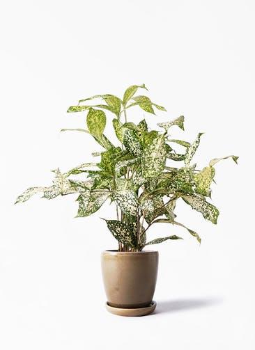 観葉植物 ドラセナ ゴッドセフィアーナ 4号 アステア トール ブラウン 付き