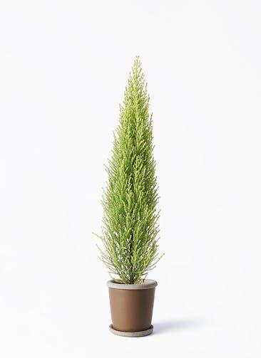 観葉植物 ゴールドクレスト 4号 ノーマル キャメルポット ブラウン 付き