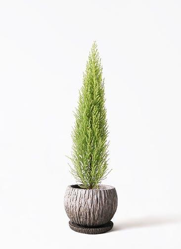 観葉植物 ゴールドクレスト 4号 ノーマル ストーン ウェア セラミック 付き