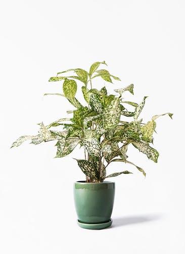 観葉植物 ドラセナ ゴッドセフィアーナ 4号 アステア トール グリーン 付き