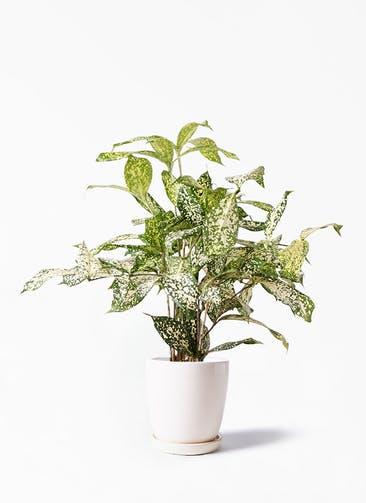 観葉植物 ドラセナ ゴッドセフィアーナ 4号 アステア トール ホワイト 付き