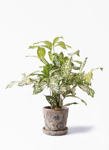 観葉植物 ドラセナ ゴッドセフィアーナ 4号 ハレー カーキー 付き