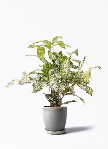 観葉植物 ドラセナ ゴッドセフィアーナ 4号 アステア トール ライトグレー 付き