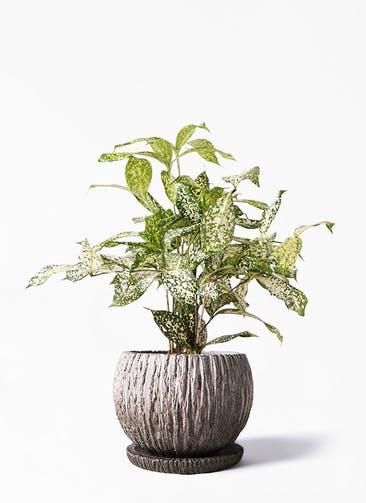 観葉植物 ドラセナ ゴッドセフィアーナ 4号 ストーン ウェア セラミック 付き