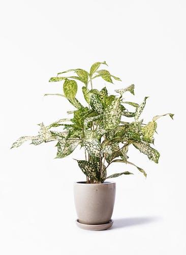 観葉植物 ドラセナ ゴッドセフィアーナ 4号 アステア トール ベージュ 付き