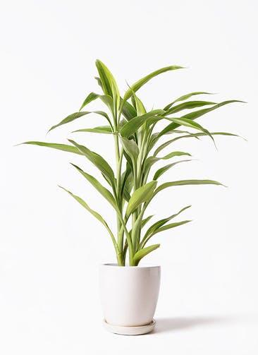 観葉植物 ドラセナ サンデリアーナ ゴールド 4号 アステア トール ホワイト 付き