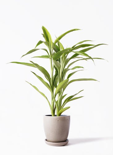観葉植物 ドラセナ サンデリアーナ ゴールド 4号 アステア トール ベージュ 付き