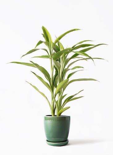 観葉植物 ドラセナ サンデリアーナ ゴールド 4号 アステア トール グリーン 付き