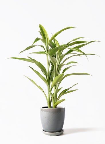 観葉植物 ドラセナ サンデリアーナ ゴールド 4号 アステア トール ライトグレー 付き