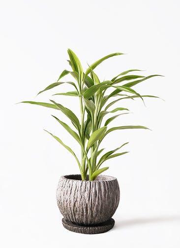 観葉植物 ドラセナ サンデリアーナ ゴールド 4号 ストーン ウェア セラミック 付き