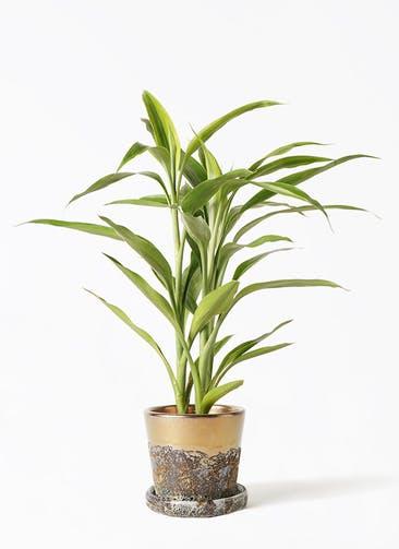 観葉植物 ドラセナ サンデリアーナ ゴールド 4号 ハレー ブロンズ 付き