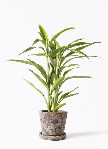 観葉植物 ドラセナ サンデリアーナ ゴールド 4号 ハレー カーキー 付き