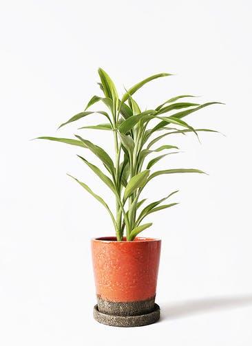 観葉植物 ドラセナ サンデリアーナ ゴールド 4号 ヴィフポット オレンジ 付き