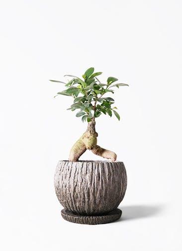 観葉植物 ガジュマル 4号 股仕立て ストーン ウェア セラミック 付き