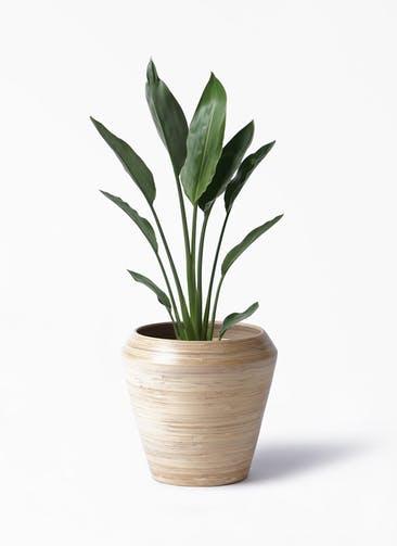 観葉植物 ストレリチア レギネ 6号 アルマ ミドル 付き