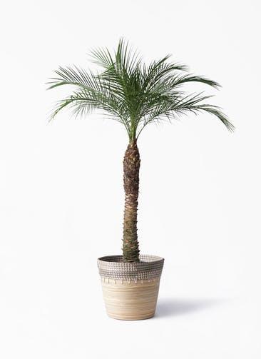 観葉植物 フェニックスロベレニー 8号 アルマ コニック 白 付き