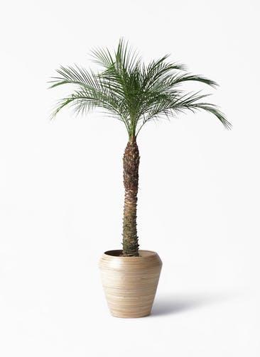 観葉植物 フェニックスロベレニー 8号 アルマ ミドル 付き