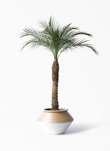 観葉植物 フェニックスロベレニー 8号 アルマジャー 白 付き