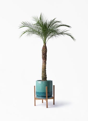 観葉植物 フェニックスロベレニー 8号 ビトロ エンデガ ターコイズ ウッドポットスタンド付き