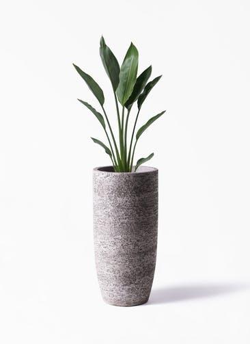 観葉植物 ストレリチア レギネ 6号 エコストーントールタイプ Gray 付き