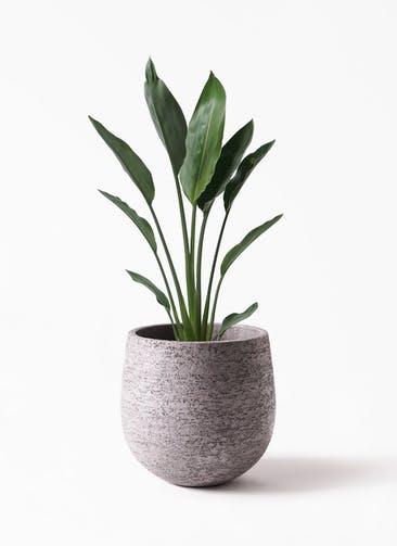 観葉植物 ストレリチア レギネ 6号 エコストーンGray 付き