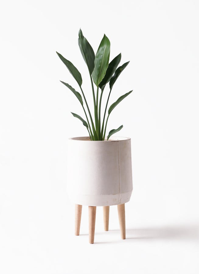 観葉植物 ストレリチア レギネ 6号 ファイバークレイ white 付き