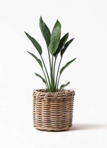 観葉植物 ストレリチア レギネ 6号 グレイラタン 付き
