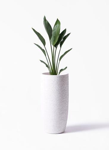 観葉植物 ストレリチア レギネ 6号 エコストーントールタイプ white 付き