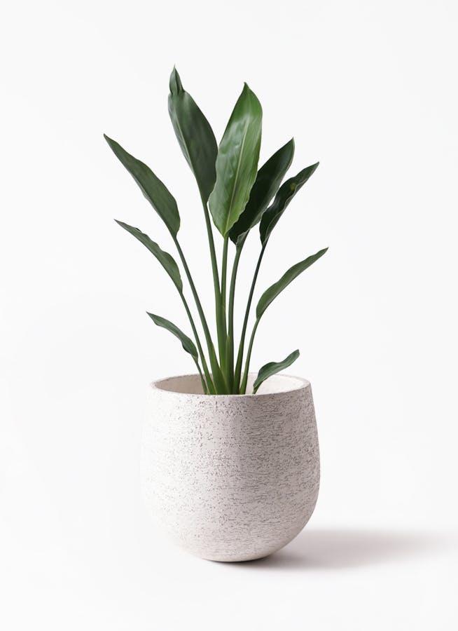 観葉植物 ストレリチア レギネ 6号 エコストーンwhite 付き