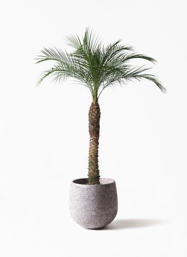 観葉植物 フェニックスロベレニー 8号 エコストーンGray 付き