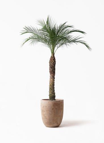 観葉植物 フェニックスロベレニー 8号 ルーガ アンティコ アルトエッグ 付き