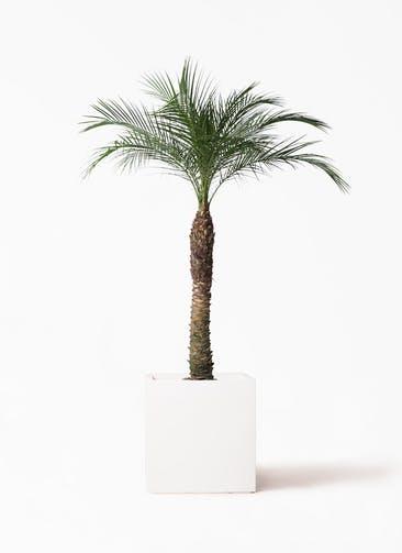 観葉植物 フェニックスロベレニー 8号 バスク キューブ 付き