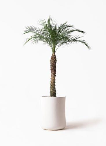 観葉植物 フェニックスロベレニー 8号 バスク ミドル ホワイト 付き