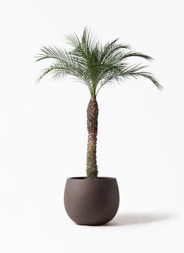 観葉植物 フェニックスロベレニー 8号 テラニアス ローバルーン アンティークブラウン 付き