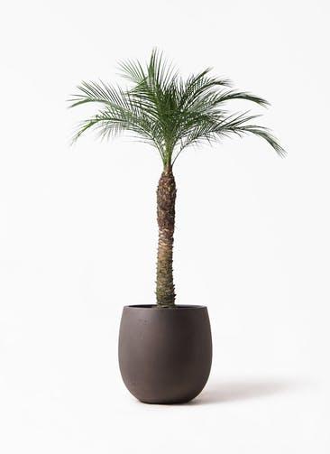 観葉植物 フェニックスロベレニー 8号 テラニアス バルーン アンティークブラウン 付き