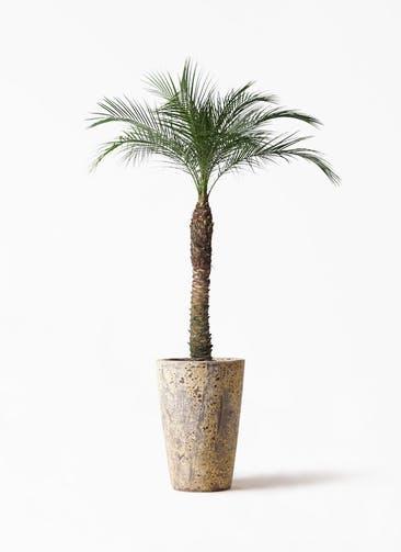観葉植物 フェニックスロベレニー 8号 アトランティス クルーシブル 付き