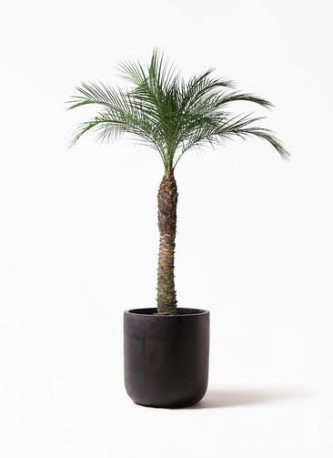 観葉植物 フェニックスロベレニー 8号 エルバ 黒 付き
