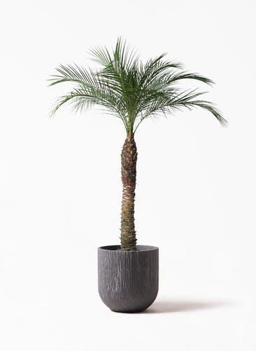 観葉植物 フェニックスロベレニー 8号 カルディナダークグレイ 付き