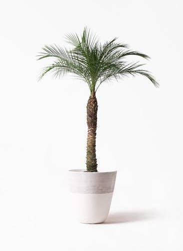 観葉植物 フェニックスロベレニー 8号 ジュピター 白 付き