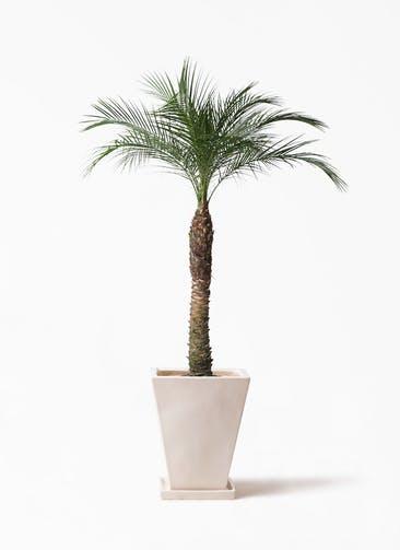 観葉植物 フェニックスロベレニー 8号 スクエアハット 白 付き