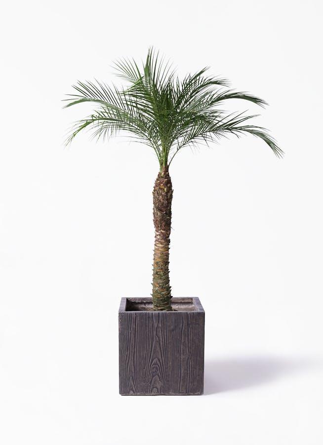観葉植物 フェニックスロベレニー 8号 ベータ キューブプランター ウッド 茶 付き