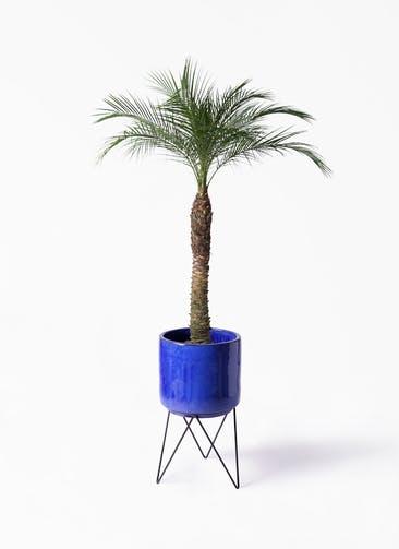 観葉植物 フェニックスロベレニー 8号 ビトロ エンデカ ブルー アイアンポットスタンド ブラック 付き